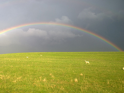 rainbow with sheep